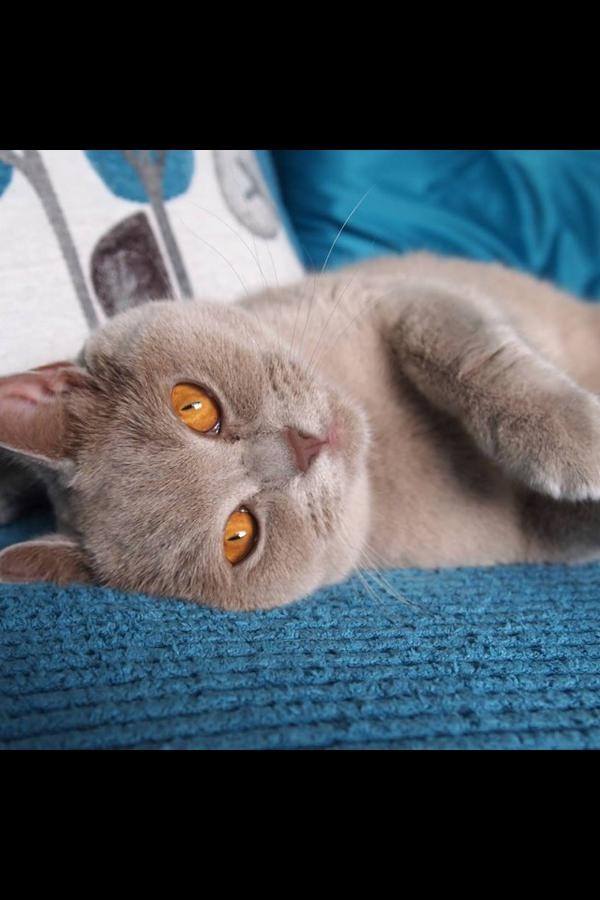 Ollie James (@wally_ollie), a 3 year old Lilac British Shorthair. He's hoping to raise money for RSPCA's cat crisis campaign. Visit his Facebook page at http://www.facebook.com/wallyolliethecat